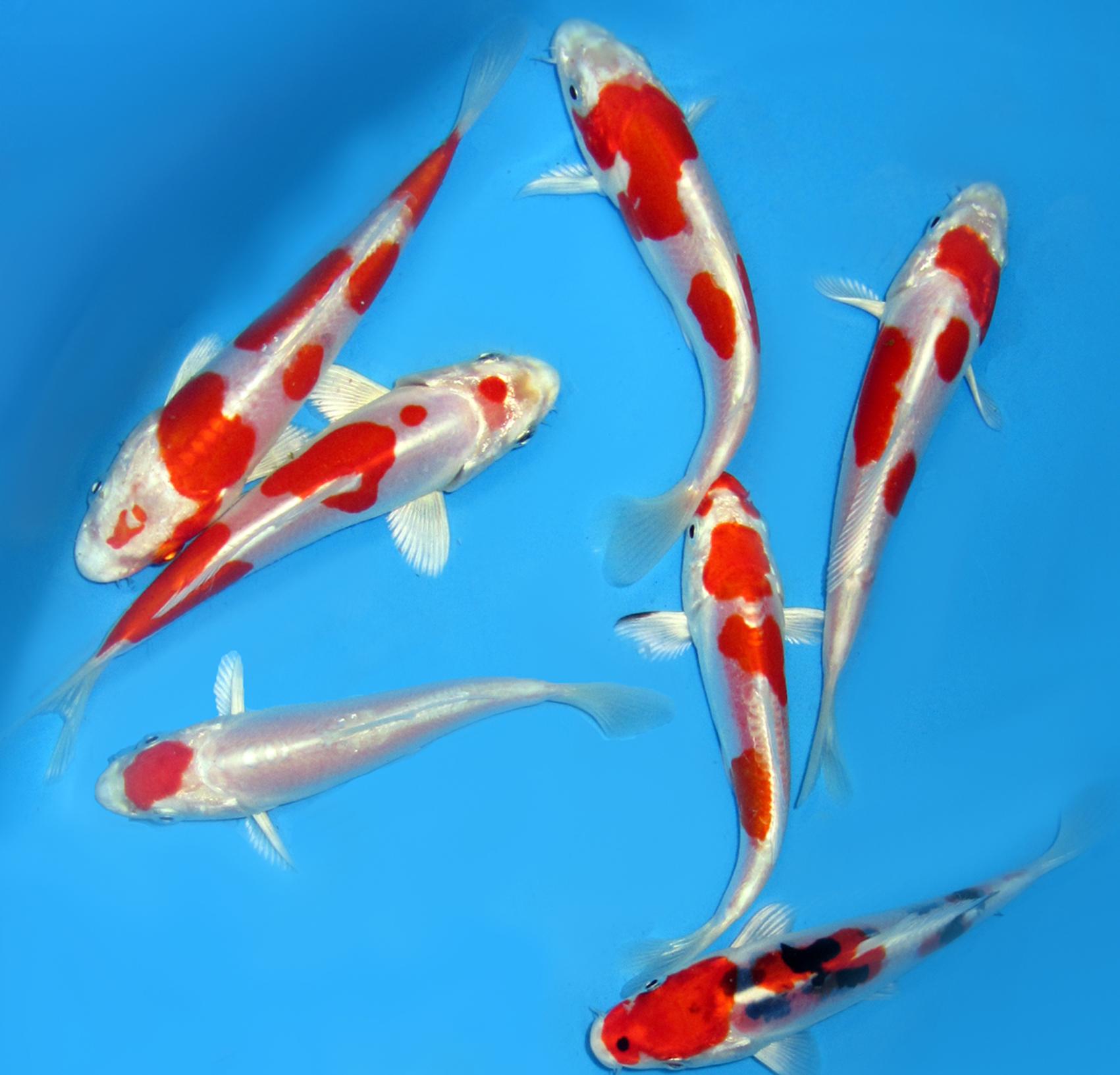 Carpe koi a flore d 39 eau votre sp cialiste du bassin en for Achat carpe koi en ligne